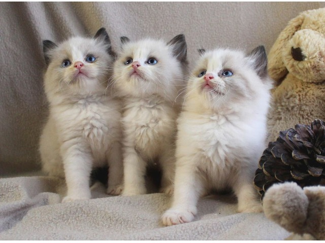 Ragdoll Kittens for a new home | free-classifieds-usa.com