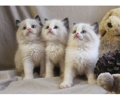 Ragdoll Kittens for a new home