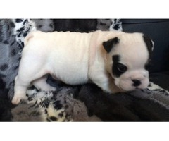 AKC mini black-tri english bulldog male puppy