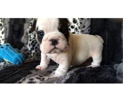 AKC mini black-tri english bulldog male puppy | free-classifieds-usa.com