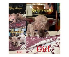 Female Sphynx kittens | free-classifieds-usa.com
