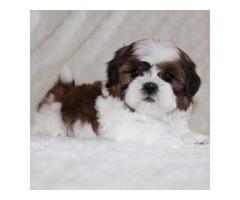 Adorable shih tzu puppies | free-classifieds-usa.com