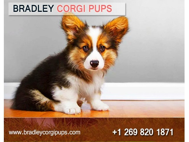 Corgi Puppies For Adoption | Buy Corgi Dog - Bradley Corgi Pups | free-classifieds-usa.com