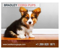 Corgi Puppies For Adoption | Buy Corgi Dog - Bradley Corgi Pups