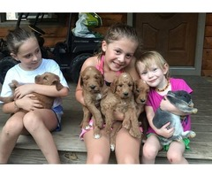 Multigen Goldendoodle Pups