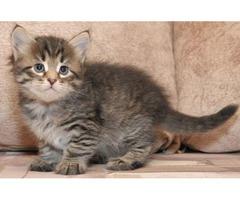 Kittens Need Homes (Siberians)   free-classifieds-usa.com