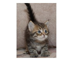 Kittens Need Homes (Siberians) | free-classifieds-usa.com