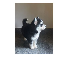 Siberian Husky Puppies | free-classifieds-usa.com