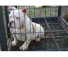 Male American Bully Pup