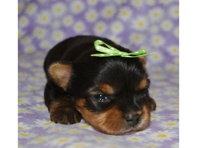3 Akc Yorkie Animals Safford Arizona Announcement 151164