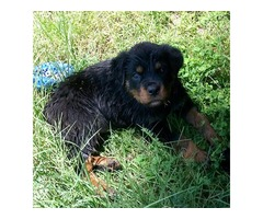 AKC Rottweilers
