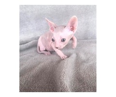 Sphynx Male blue/white