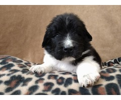 Newfipoo for sale