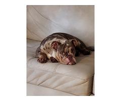 Girl lilac merle English bulldog