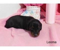 Miniature Dachshund Leoma
