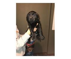 AKC Black Lab Pups only 2 females left!!