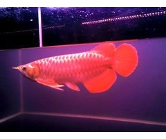 Supper red and  other arowana fish available