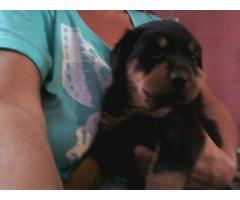 A.K.C. Rottweiler Puppies
