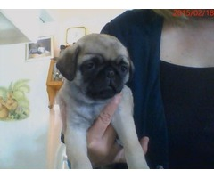 CKC Purebred Pug Puppies