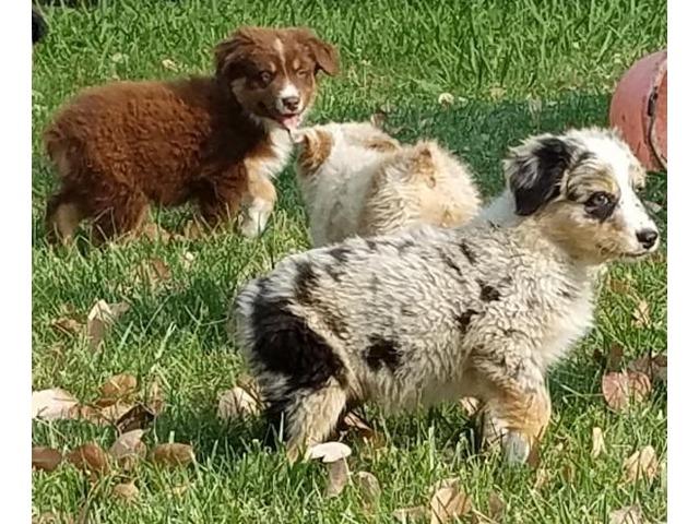 AustralianShepherdPuppies