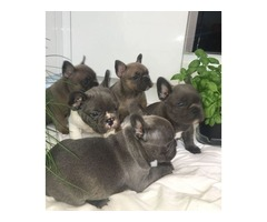 Micro Blue Male and Female French bulldog puppies