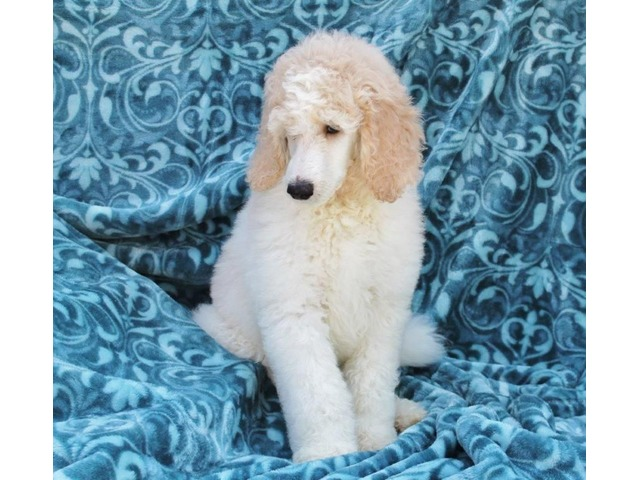 AKC standard poodle puppies | free-classifieds-usa.com
