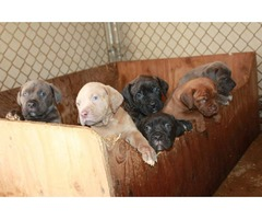 Ambullneo Mastiff Puppies!