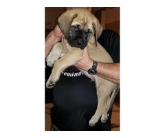 AKC English mastiff puppies