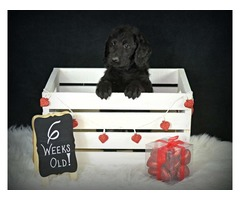 Male Labradoodle Puppy from Health Tested parents