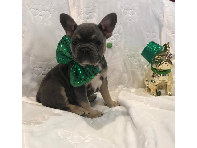 French Bulldog Male puppy | free-classifieds-usa.com