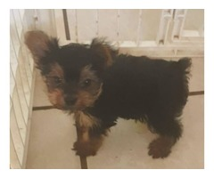 Tiny Male Yorkie for sale