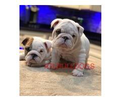 AKC English Bulldog Puppies available must pick up