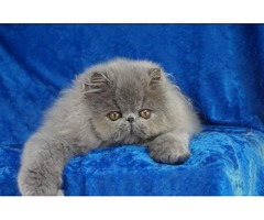 Solid Blue Persian Male