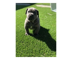Cane corso puppies available | free-classifieds-usa.com