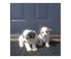 Male yorkie poo puppies