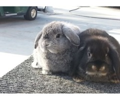 Holland Lop Bunnies | free-classifieds-usa.com