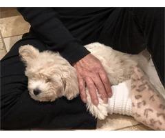 Precious Poochon Puppy