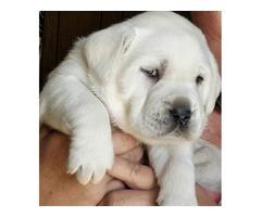 Labrador Retriever Puppies | free-classifieds-usa.com