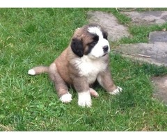 So Sweet Saint Bernards