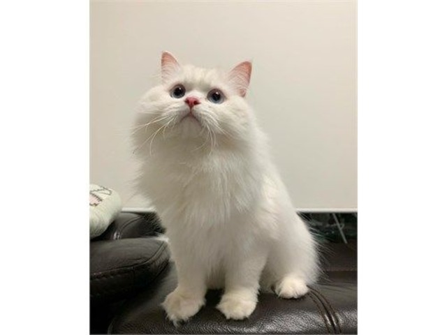 Lovely persian kittens | free-classifieds-usa.com