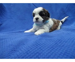 Malshih Puppies | free-classifieds-usa.com