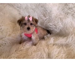 Tiny morkie demale