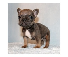 Mini Blue/Tan French Bulldog