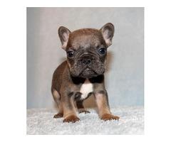 Mini Blue/Tan French Bulldog | free-classifieds-usa.com