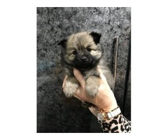 Pomeranian Pups | free-classifieds-usa.com