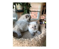 Gorgeous Chocolate Mitted Ragdoll Kittens