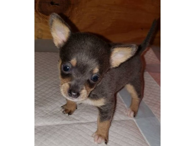 Chihuahua Puppies Animals Schuylerville New York