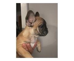 Akc French Bulldog male | free-classifieds-usa.com