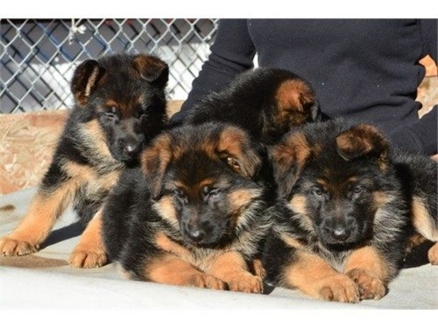 German Shepherd Puppies Animals Los Angeles California