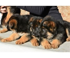 German shepherd puppies | free-classifieds-usa.com